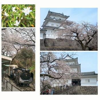 小田原城桜 (2).jpg