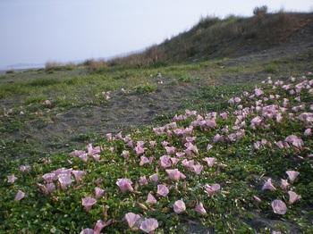 海辺の花.JPG