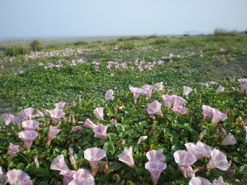 海辺の花1.JPG